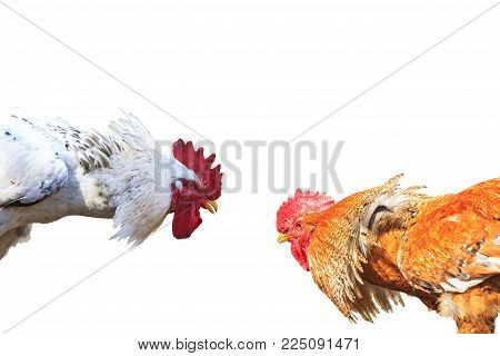 Two rival bird isolated on white background , cocks, fight for the territory