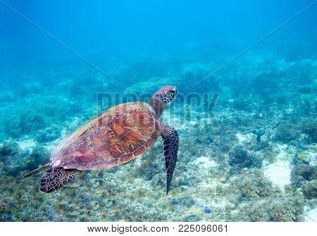 Sea turtle in blue sea water. Green sea turtle closeup. Wildlife of tropical coral reef. Tortoise undersea. Tropical seashore snorkeling. Marine turtle in blue water. Aquatic animal underwater photo