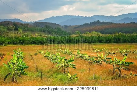 Row Of Small Recently Planted Banana Trees On A Plantation In Thailand