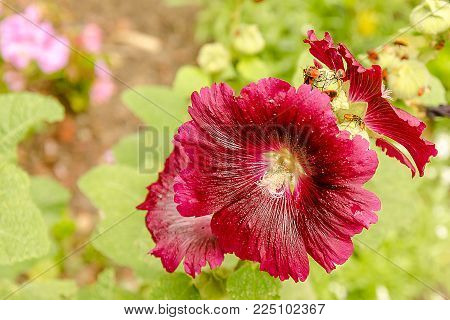 Bright pink big flower of purple hibiscus on green nature background with fire beetle