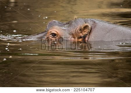 a large hippopotamus with ears, nose and eyes above water level