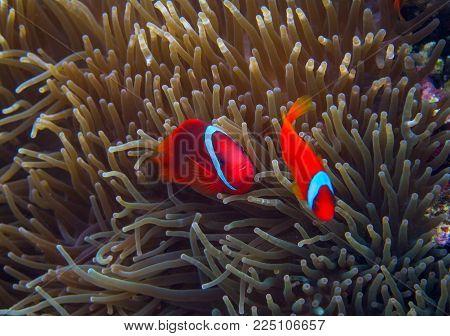Clown fish in actinia. Orange Clownfish in anemone. Coral fish underwater photo. Anemonefish closeup. Coral reef animal. Warm tropical shore fauna. Aquarium fish in wild nature. Cute tropical fish