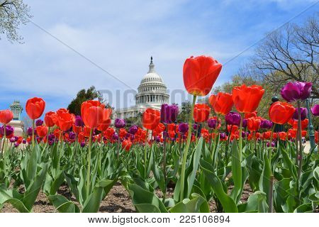 United States Capitol Building in spring - Washington DC, USA