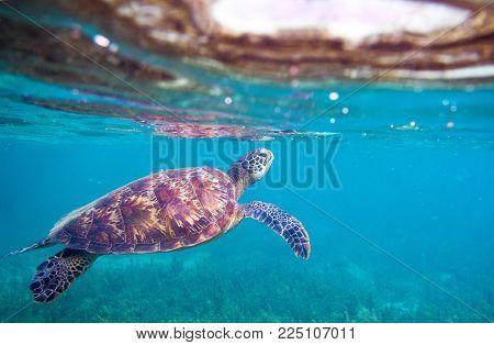 Sea turtle by sea surface. Green sea turtle closeup. Wildlife of tropical coral reef. Tortoise undersea. Tropical seashore snorkeling. Marine turtle in blue water. Aquatic animal underwater photo