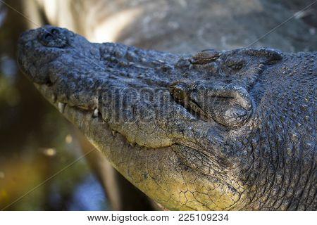 Alligator head photo. Crocodile smiling mouth closeup with sharp teeth. Tropical nature animal. Wild predator in jungle. Dangerous water animal. African crocodile. Big alligator face. Exotic wildlife