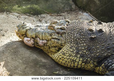 Old alligator head closeup photo. Crocodile sharp teeth and scaled skin. Tropical nature animal. Wild predator in jungle. Dangerous water animal. African crocodile. Big alligator face. Exotic wildlife