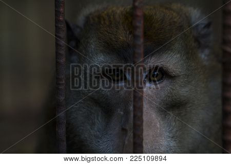 Chimpanzee monkey in metal cage. Chimpanzee closeup photo. Monkey in zoo. Philippines monkey. Wild animal of tropical nature. Warm climate fauna. Animalistic photo of cute animal. Exotic island fauna