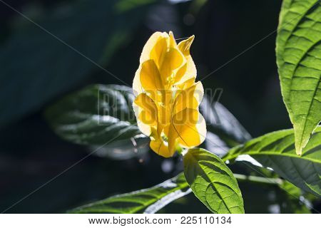 Yellow tropical flower on a green bush. Exotic plant in tropical garden. Yellow tropical flower closeup photo. Exotic island nature. Blooming summer garden. Bright floral banner on dark background