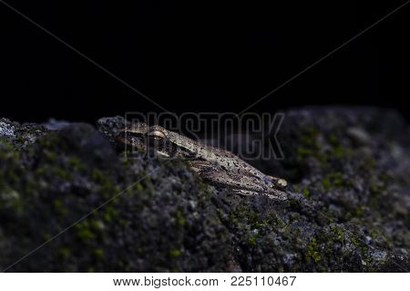 Frog in mossy stone macrophoto. Baby frog with wet skin closeup. Tropical frog hunting by night. Small toad macro photo in dark. Tropical nature. Exotic animal in rough stone. Tropical jungle wildlife
