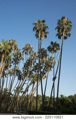 Tall Palm Trees Against A Blue Sky In Malaga City, Spain, Europe