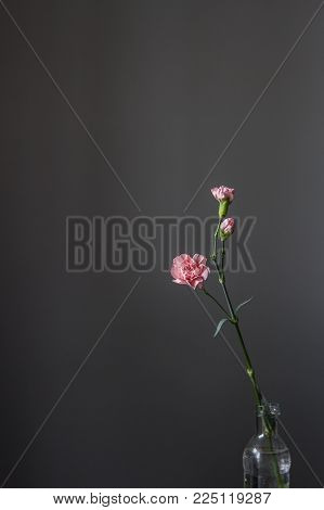 A lonely isolated pink carnation flower stands in a bottle of water on a gray background.
