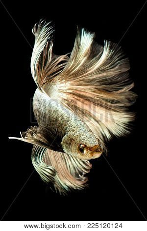 Capture the moving moment of Halfmoon Siamese gold fighting fish isolated on black background.