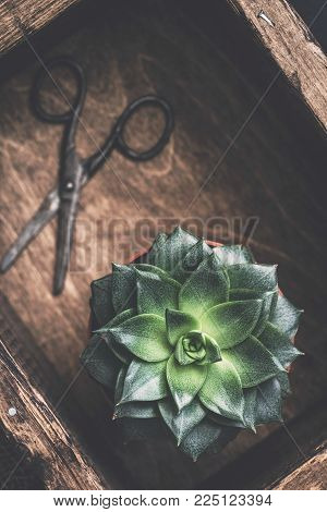 Succulent plant Stone Rose and old gardening scissors on wooden background. Top view selective focus