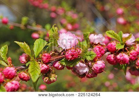 Blossoming Cerasus serrulata (Japanese flowering cherry) tree