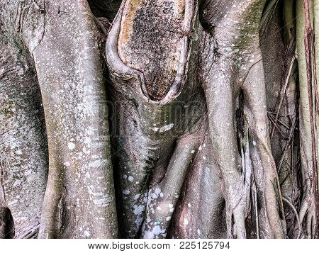 banyan tree  trunks and lizard in southern Florida