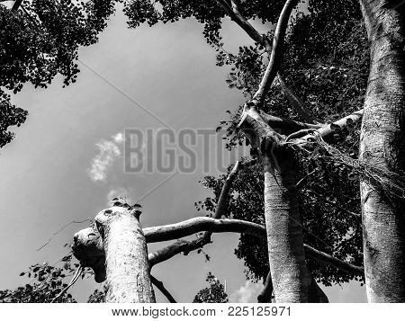 twisted branches of a large banyan tree