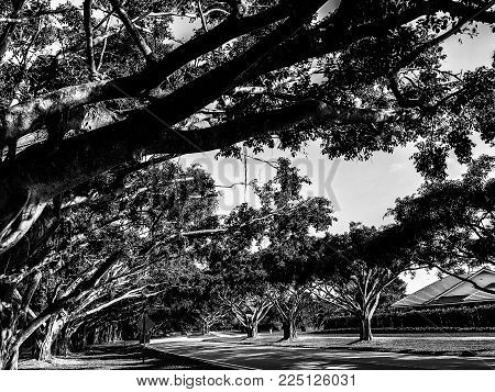 monochrome landscape of banyan tree branches over a road
