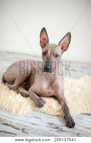 Mexican Hairless Dog Xoloitzcountly in the interior