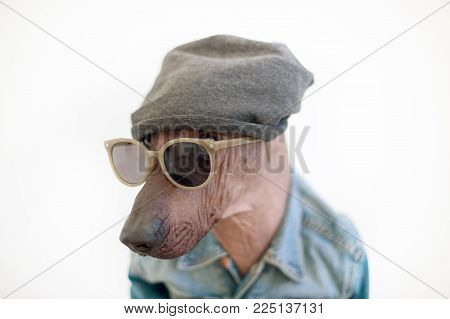 Portrait of a Mexican Hairless Dog wearing glasses and a hat