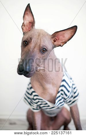 Portrait of a Mexican Hairless Dog in a T-shirt