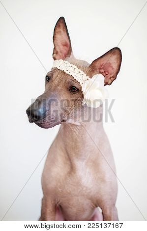Portrait of a Mexican Hairless Dog with a flower on his head
