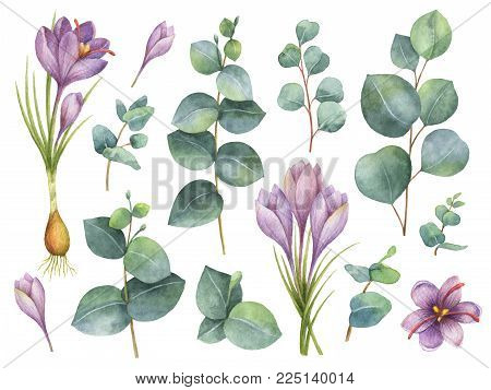 Watercolor hand painted set with eucalyptus leaves and purple flowers of saffron. Floral illustration isolated on white background.