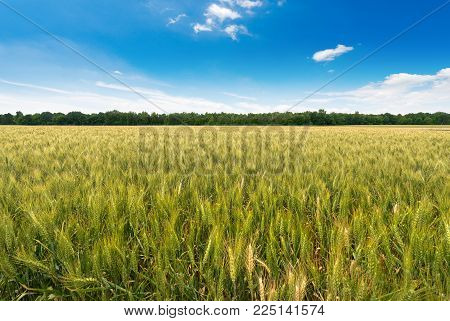 Green Wheat Field With A Row Of Trees And A Blue Sky With Clouds