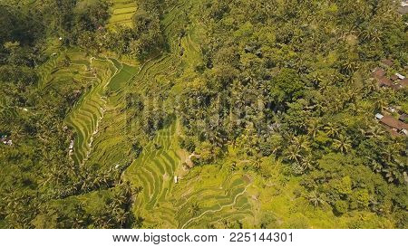 Aerial view of Rice Terrace field, Ubud, Bali, Indonesia.rice plantation, terrace, agricultural land of farmers