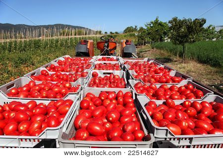 Fresh Tomatoes On Tractor
