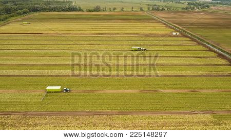 Aerial view Rows of green salad grown in agricultural field. Lettuce field. Machine conveyor belt system to harvest Lettuce from a field. Salad on the field, salad growing.
