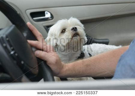 Small dog maltese sitting in a car with his owner