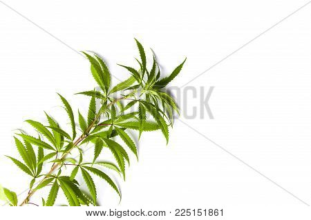 Marijuana branch with small green leafs isolated on white