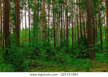 Pine forest with an underbrush on a summer day