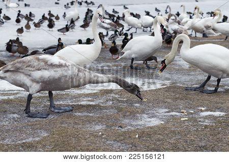 Fabulous wild birds. White swans on a winter lake. The wintering wild swans. Feeding wild birds.