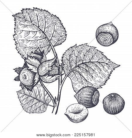 Branch of hazel and hazelnuts nuts realistic isolated. Vector illustration of food. Vintage engraving art. Hand drawing plants. Black and white sketch.