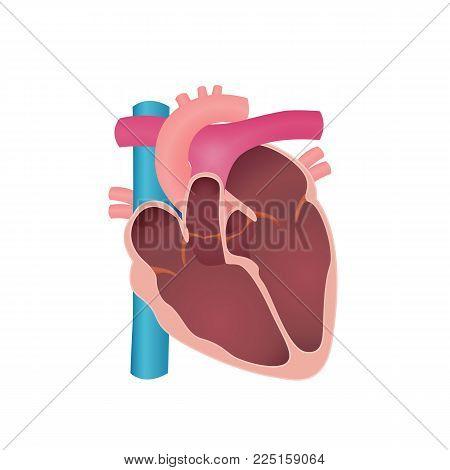 human heart, an organ in a cut