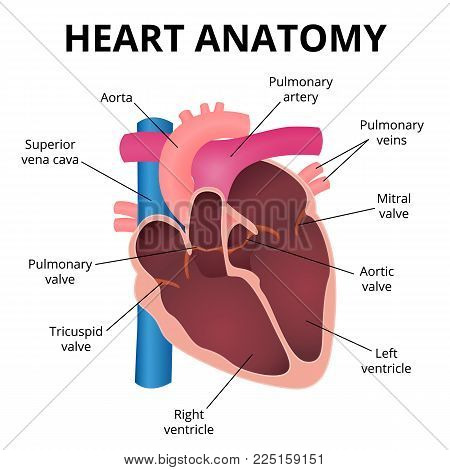 human heart, an organ in a cut, the operation of the heart valves
