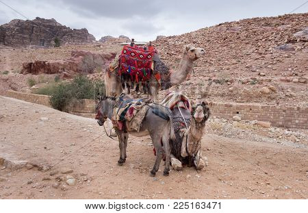 Black Donkey Wait For Tourists At Petra Archaeological Park