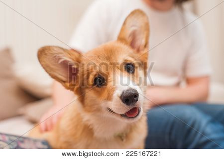 Close-up portrait of cute happy puppy welsh corgi.
