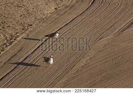 Two lonely seagulls on cleaned by a tractor sand on the Mediterranean Sea in the morning. Antibes, Cote d'Azur, France. Great space for writing