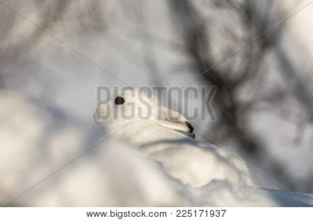 The mountain hare, Lepus timidus, is also known as blue, tundra, variable, white, snow, alpine and Irish hare. Here in its winter coat, with white fur and black tips on the ears. The animal is sitting very still, and hoping to be overlooked. Close up.