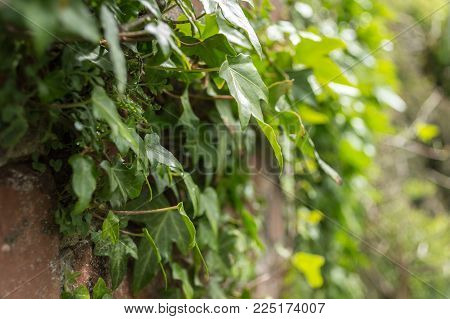 Ivy (Hedera helix) growing on old brick wall in sunlight. Viewed from the side with shallow depth of field.