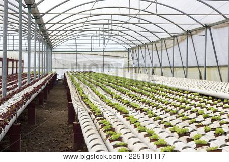 Beautiful Tomatoes Grown In A Greenhouse. Gardening Tomato Photograph With Copy Space. Shallow Depth