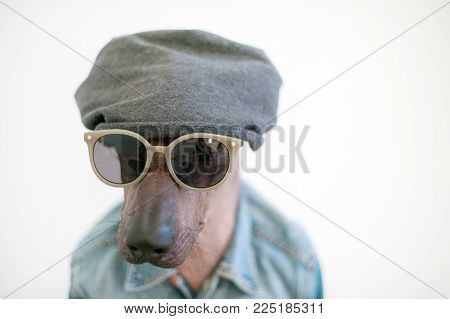 Portrait of a Mexican hairless dog wearing sunglasses and a hat
