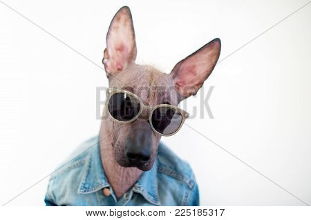 Portrait of a Mexican Hairless Dog wearing glasses