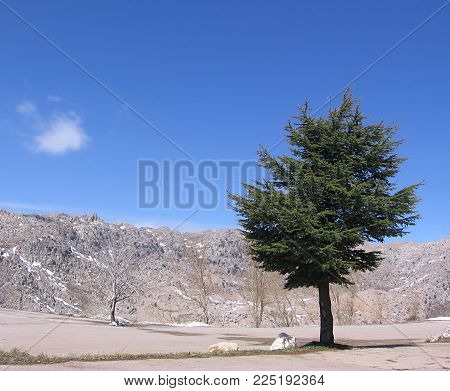 A lonely green cedar from Lebanon in a landscape filled with dead trees.
