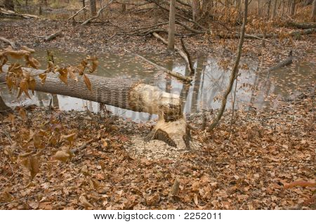 Tree Cut Down By Beavers