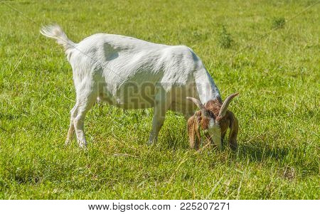 goat on a meadow in sunny ambiance