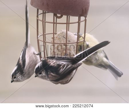 Wildlife and Nature, a group of long tailed tit garden birds feeding from a bird feeder