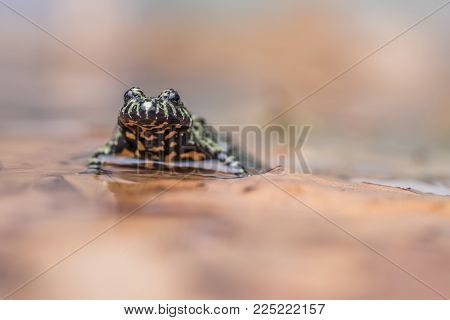 a Fire Bellied Toad, sitting in shallow water, reflecting onto the water